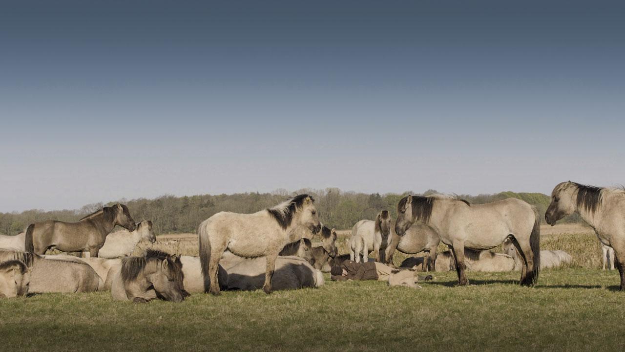 Verhalten gegenüber dem Menschen: Pferde sind dem Menschen gegenüber freundlich gestimmt.