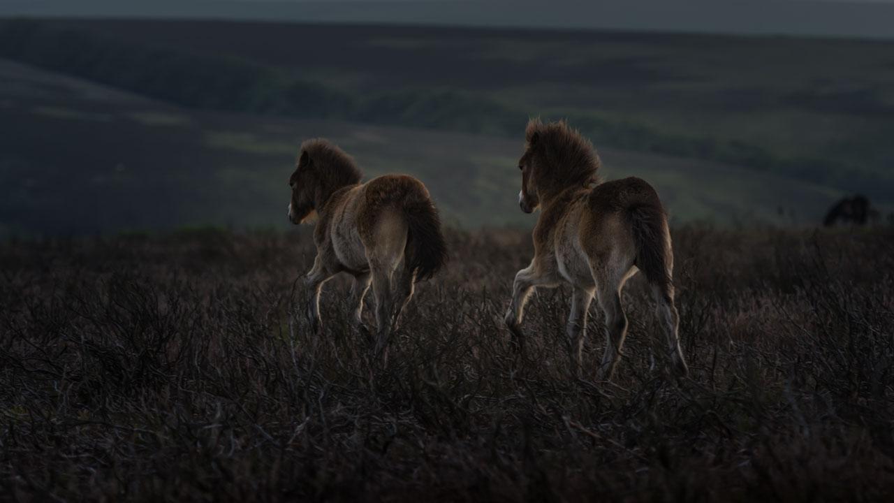 In der Dämmerung kann man, sogar bei den Fohlen die hellen Spiegel bei den Exmoor Ponys besonders gut erkennen.
