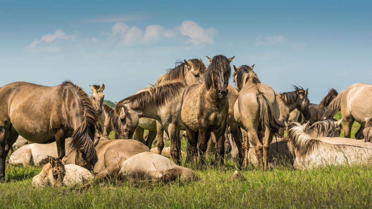 Wildpferde Herde