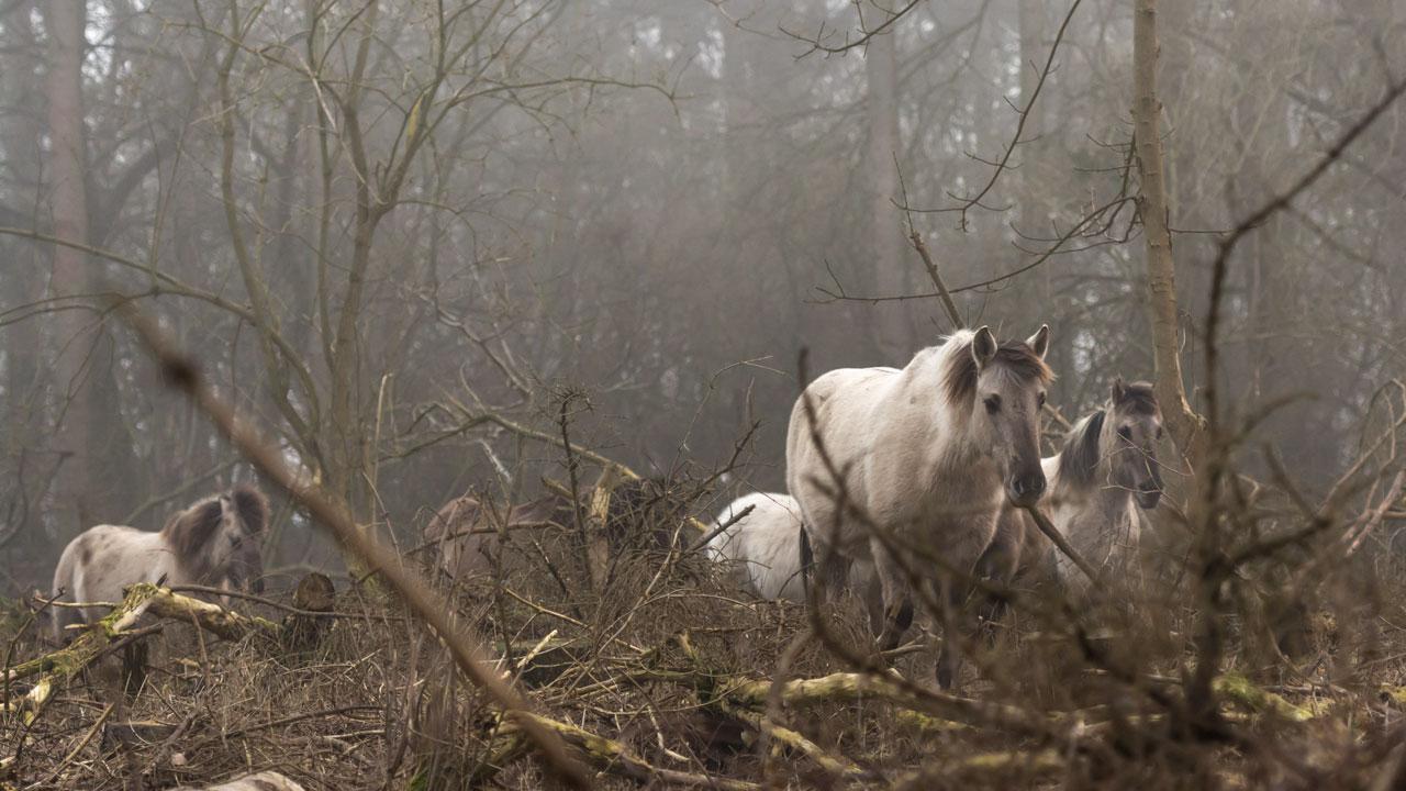 Wildpferde verlassen sich, um den besten Weg zu finden auf ihre Instinke.