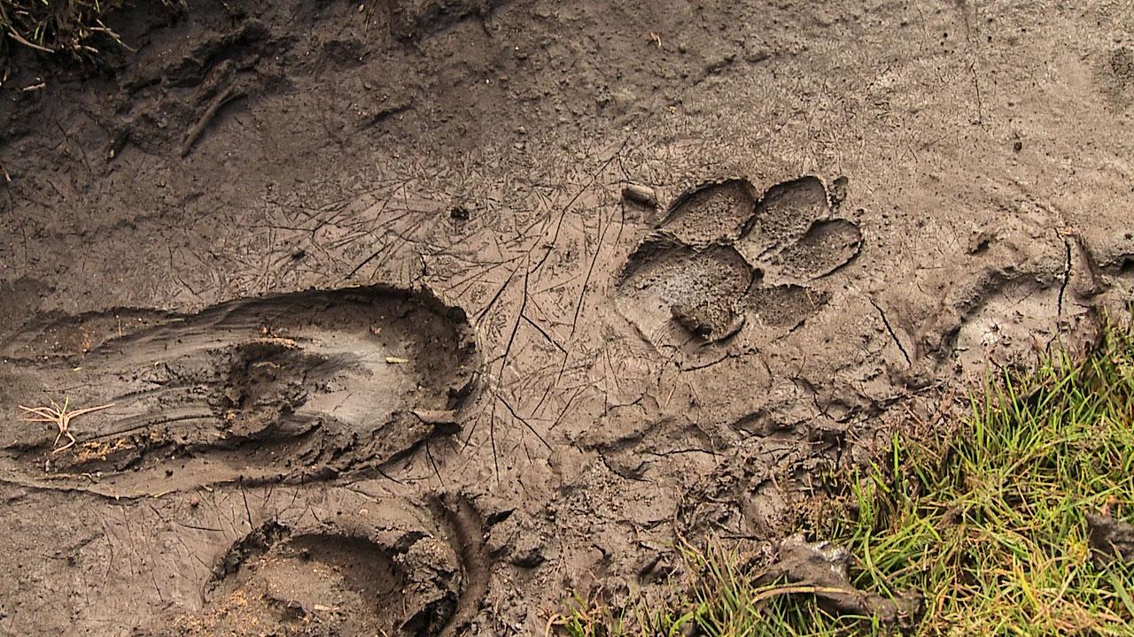 Wolfsspuren sind, obwohl sie sehr groß sind, selten gut sichtbar.